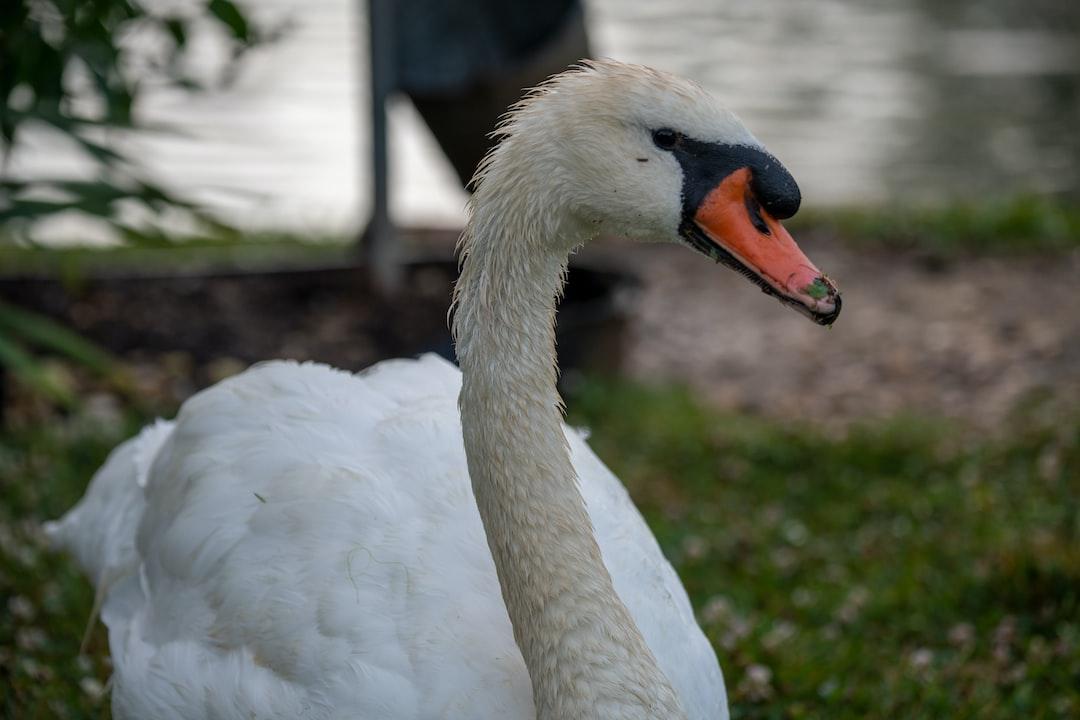 Mute swan close-up.