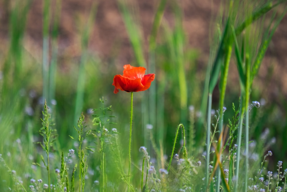red flower surrounded by green grass during daytime