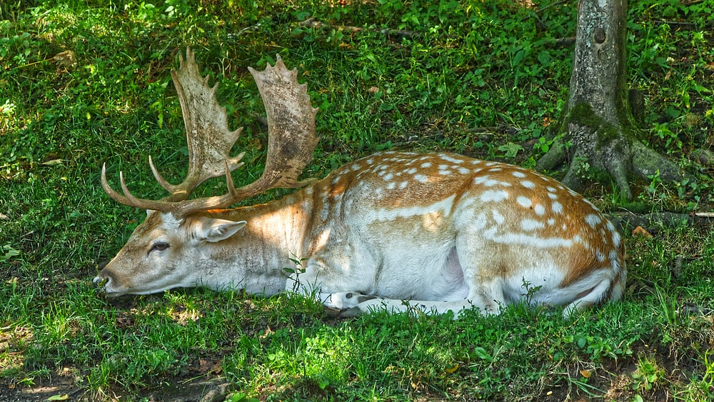 brown and white spotted deer lying on green grass during daytime