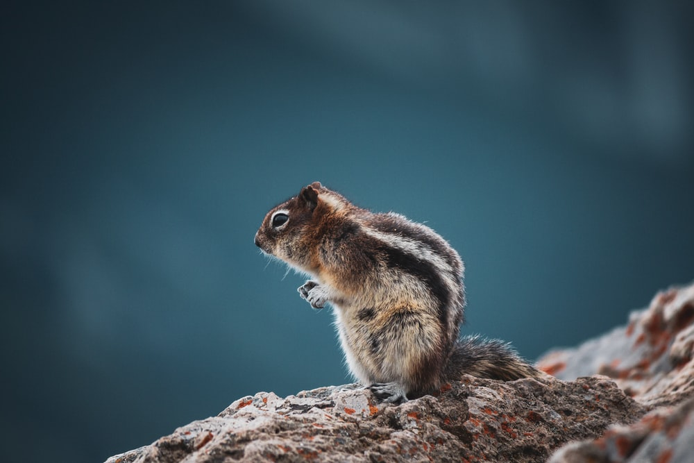 brown and white squirrel on brown rock during daytime