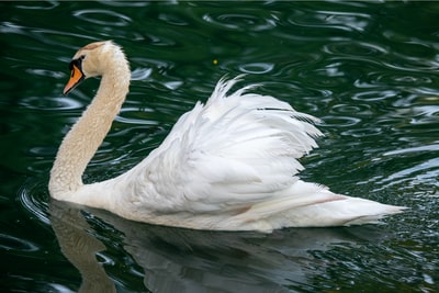white swan on water during daytime saint kitts and nevis zoom background
