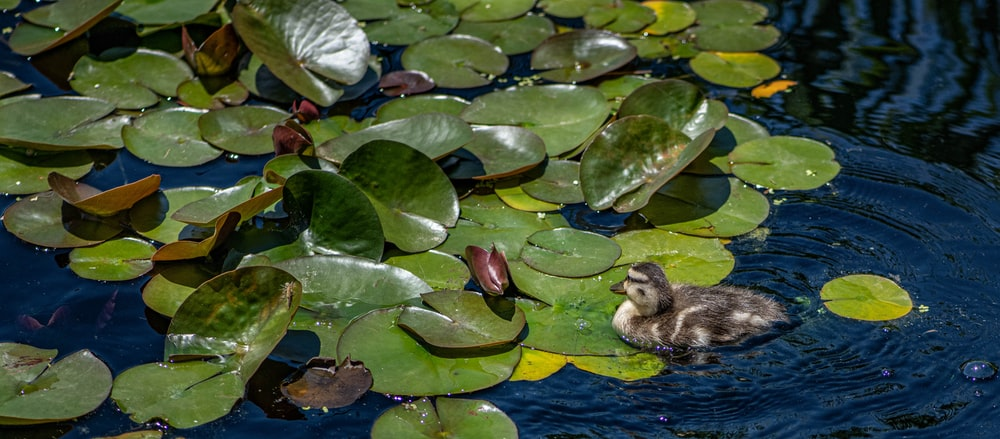 brown duck on water with green leaves