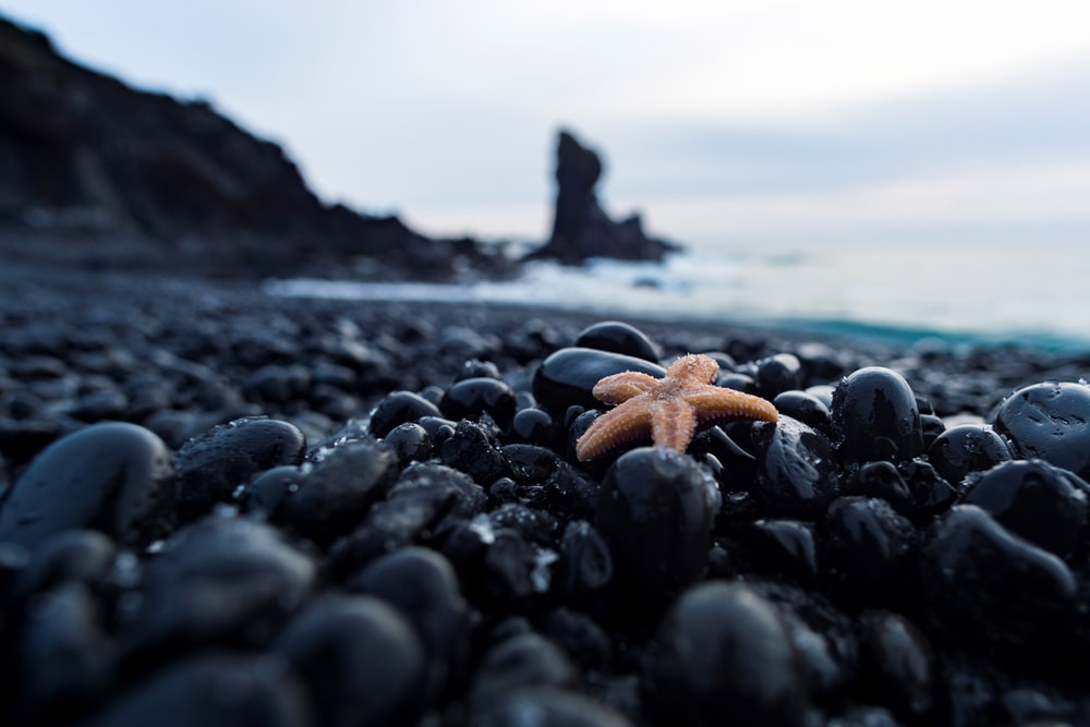 brown starfish on black and brown stones near body of water during daytime