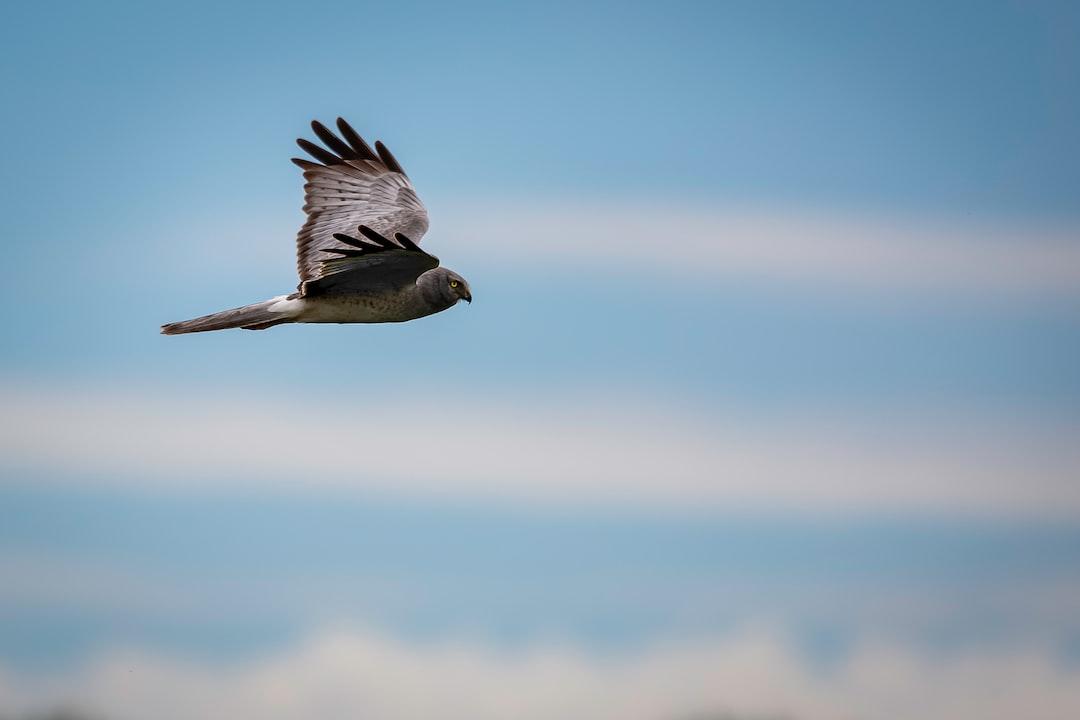 Male Northern Harrier in flight.