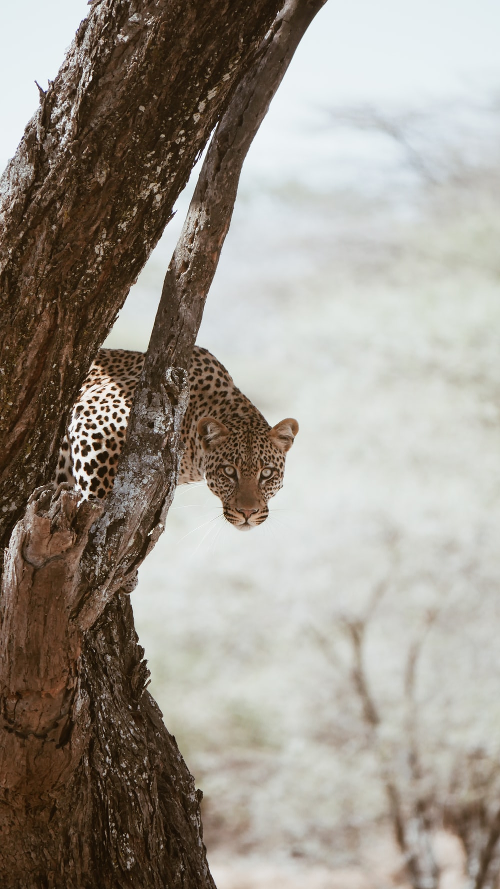 leopard on brown tree trunk during daytime