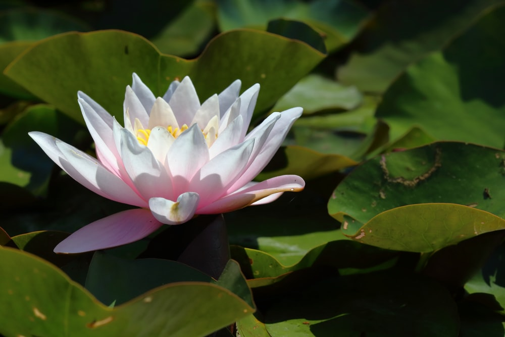 white and pink lotus flower