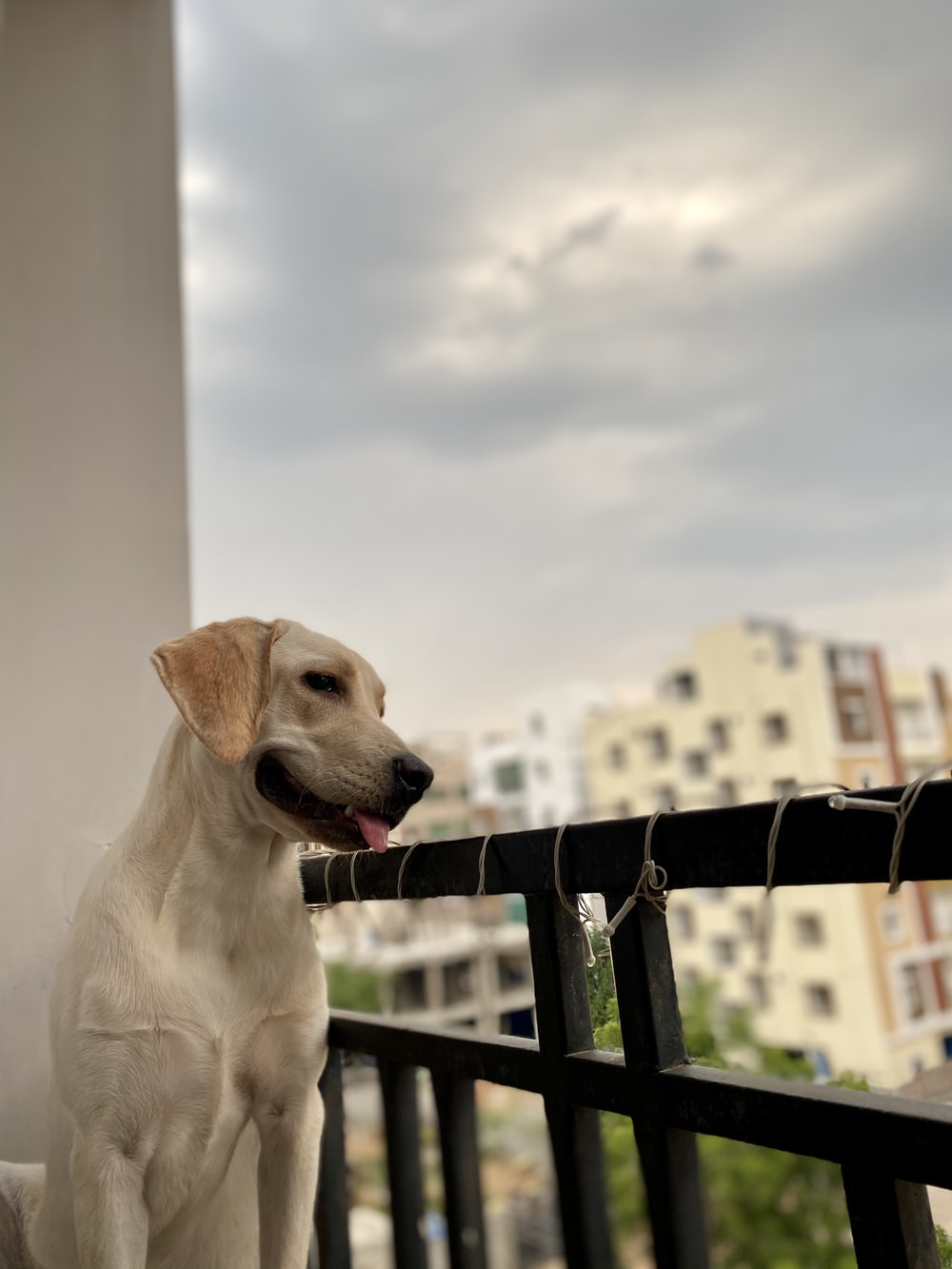 yellow labrador retriever sitting on wooden fence during daytime