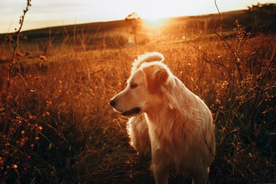 golden retriever sitting on brown grass field during daytime canine zoom background