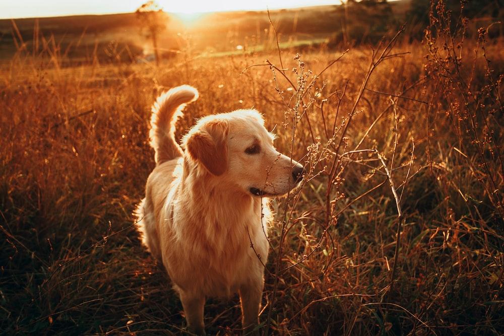 golden retriever sitting on brown grass field during sunset
