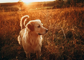 golden retriever sitting on brown grass field during sunset