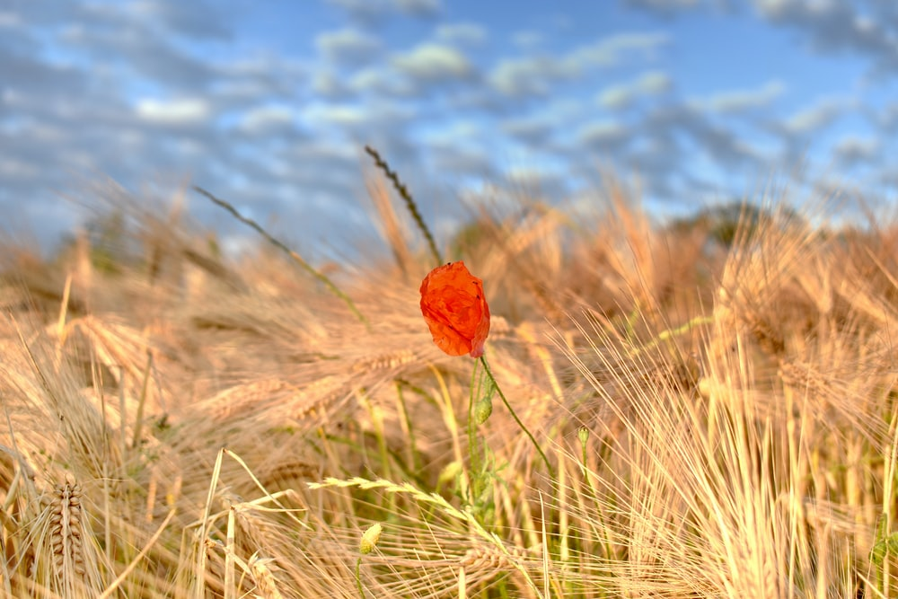 red flower in the middle of wheat field