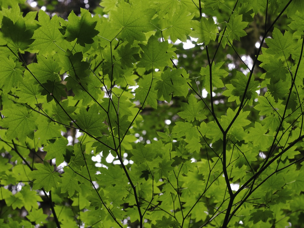 green maple leaves during daytime