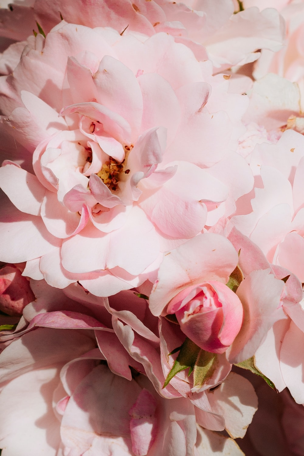 pink roses in bloom close up photo