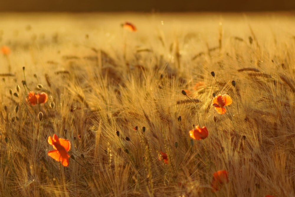 red flower on brown grass field during daytime