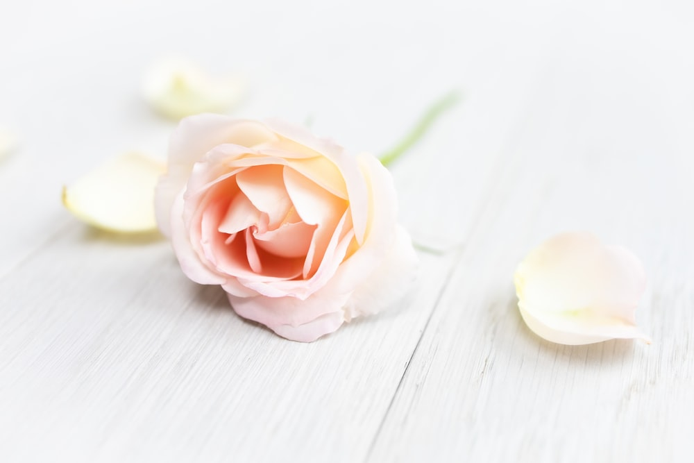 white rose on white wooden table