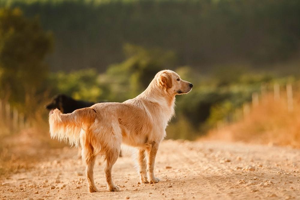 golden retriever walking on brown sand during daytime