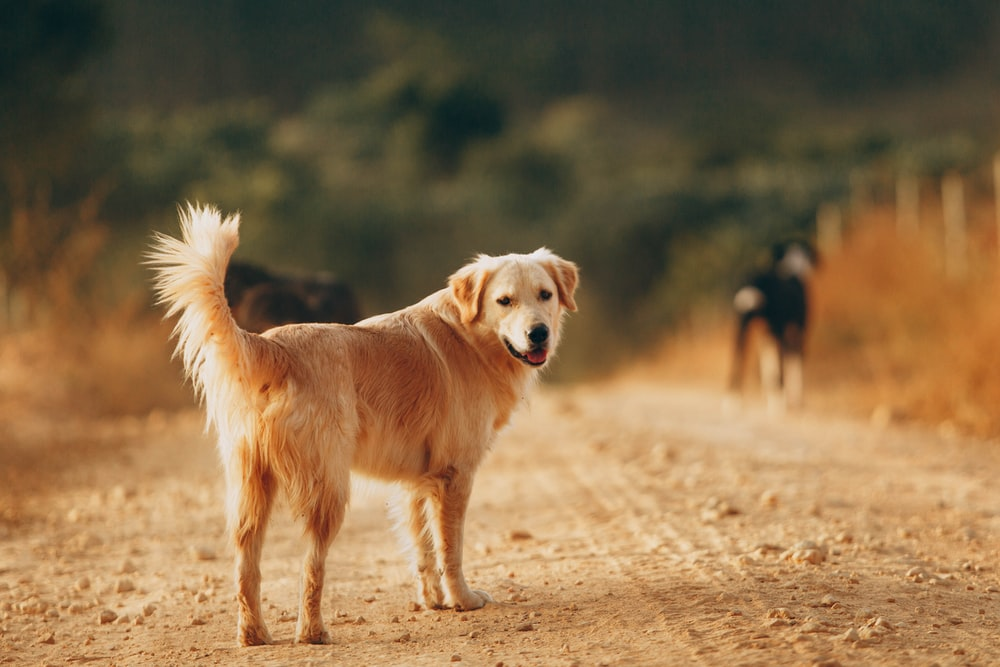 golden retriever and black and tan german shepherd on brown field during daytime