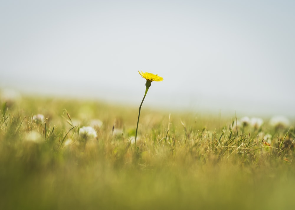 yellow flower on green grass field
