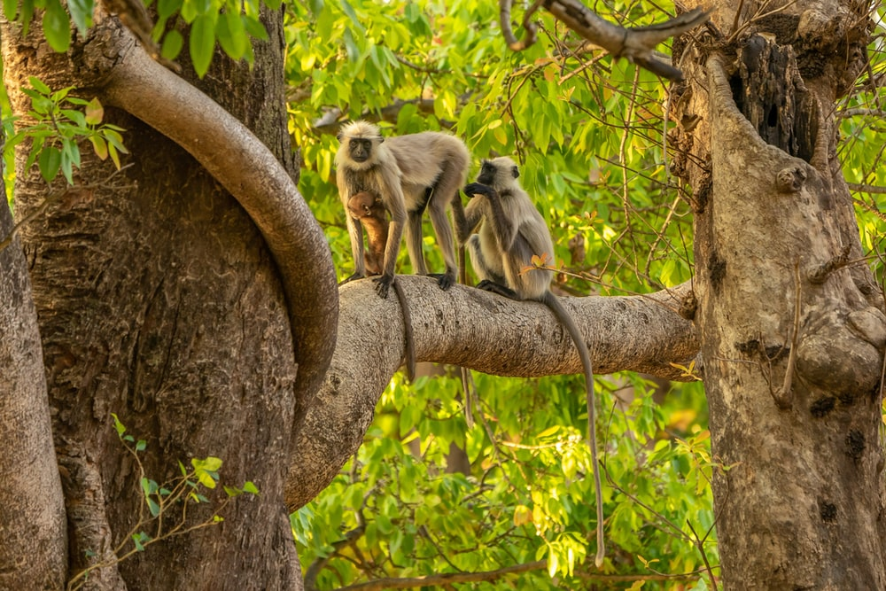 two gray monkeys on brown tree branch during daytime