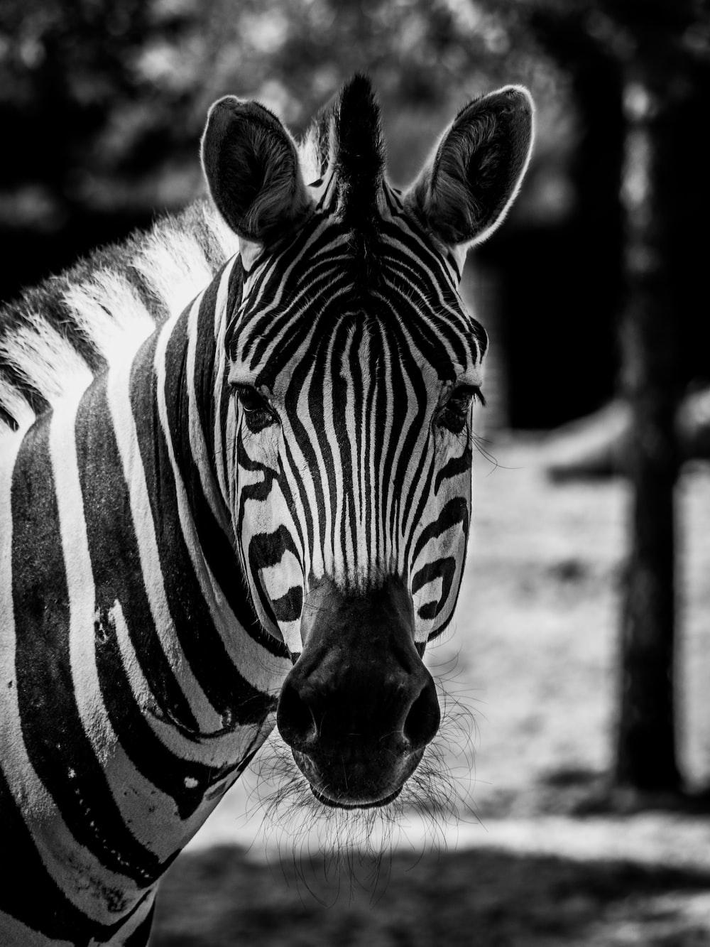 grayscale photo of zebra in field