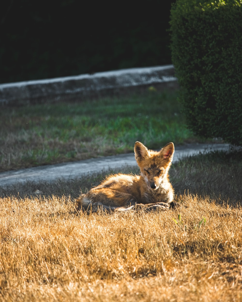 brown fox lying on the road during daytime