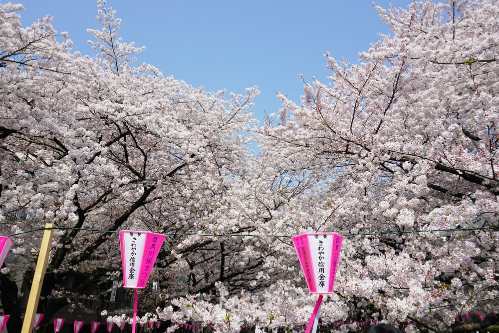 pink and white street light near white cherry blossom tree during daytime
