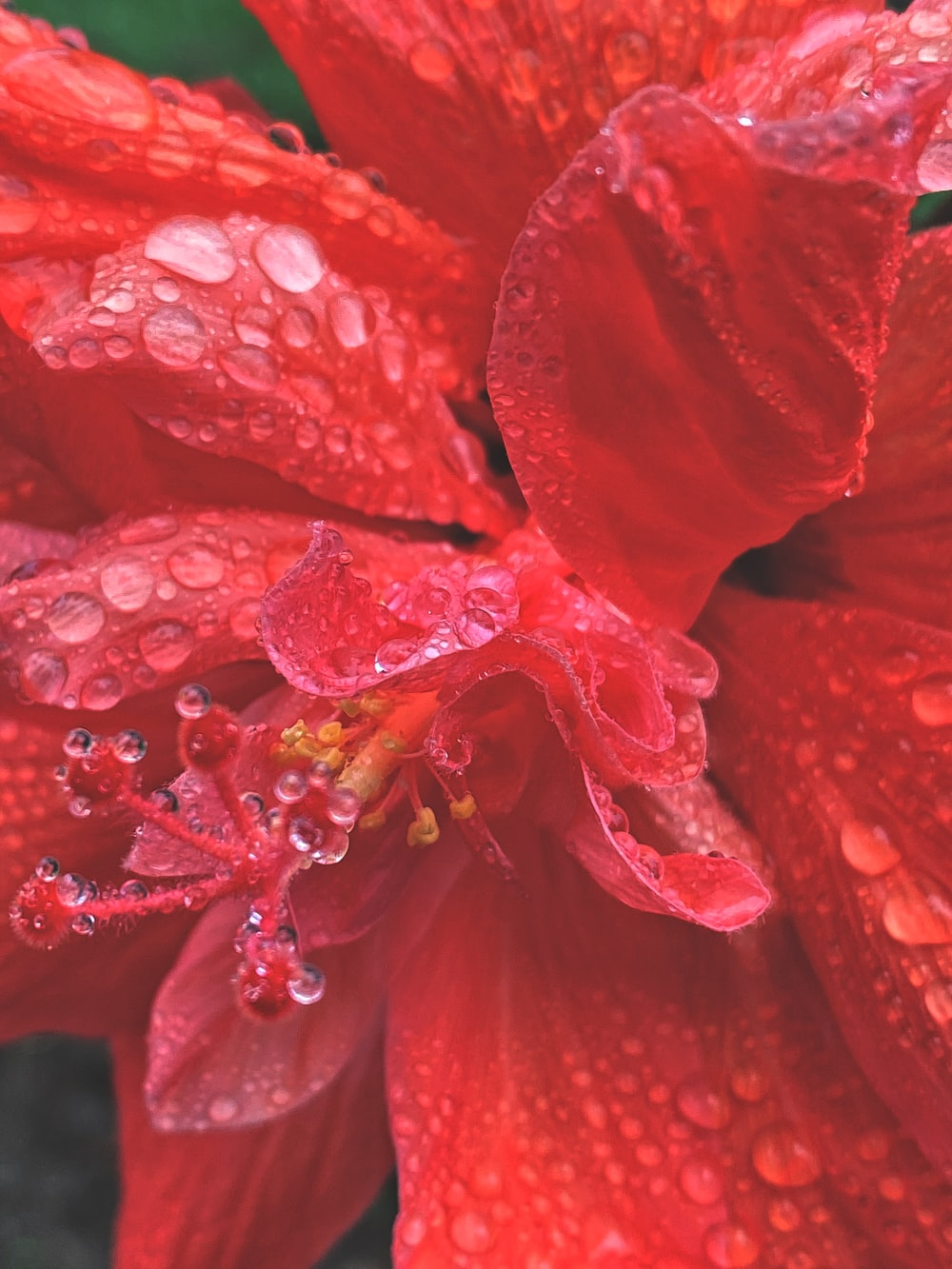 red hibiscus in bloom with dew drops