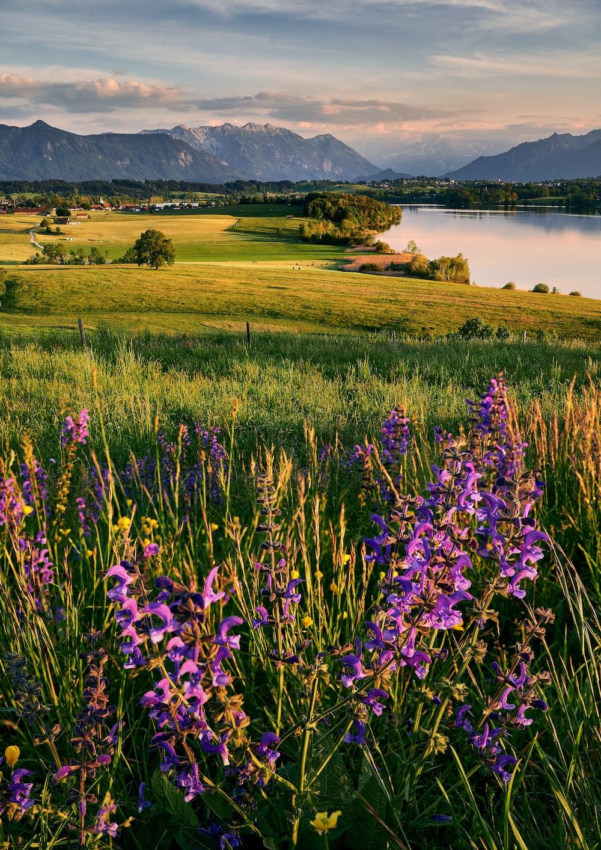 purple flower field near lake during daytime