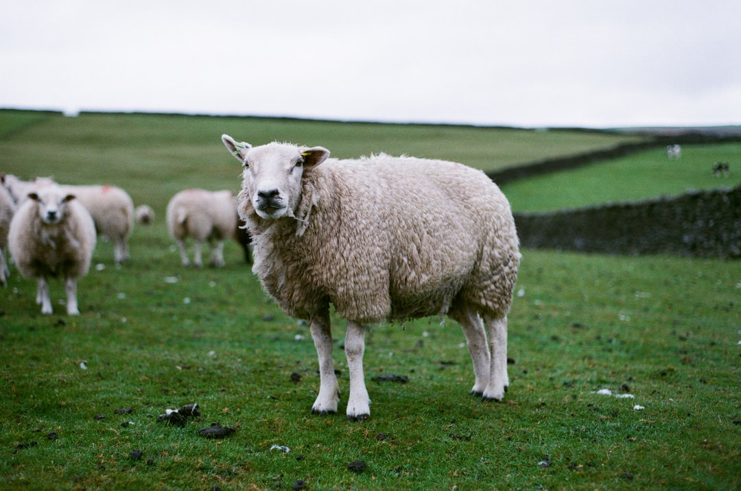 Sheep standing in a field in the Yorkshire Dales.