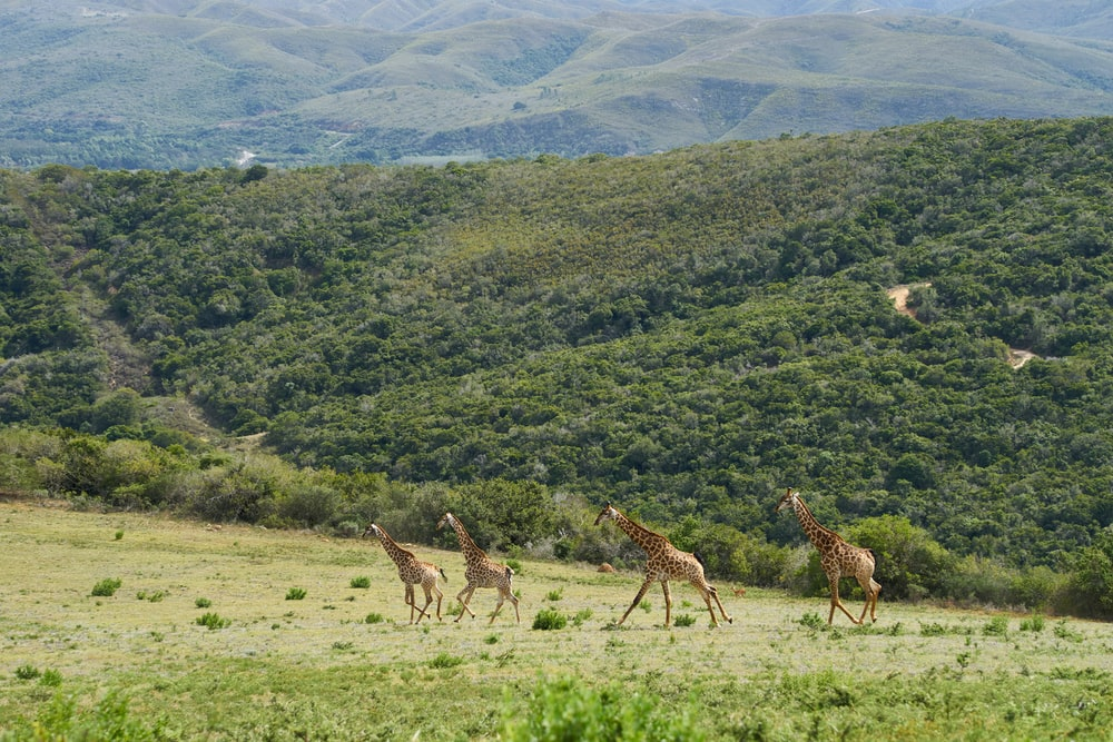 three giraffes on green grass field during daytime
