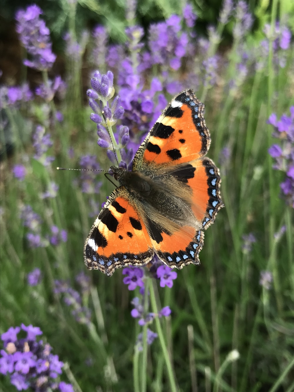 orange black and white butterfly perched on purple flower