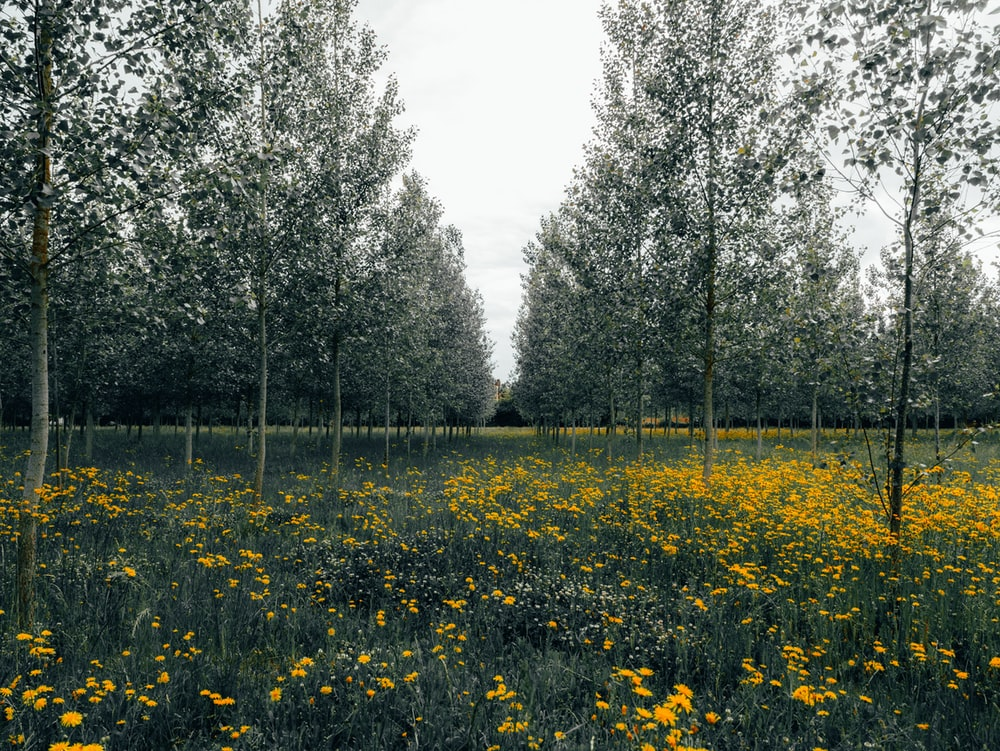 yellow flower field near trees during daytime