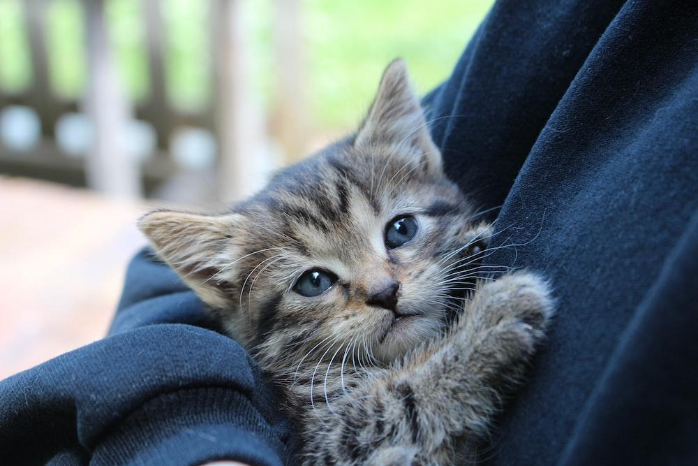 brown tabby kitten on blue denim jeans