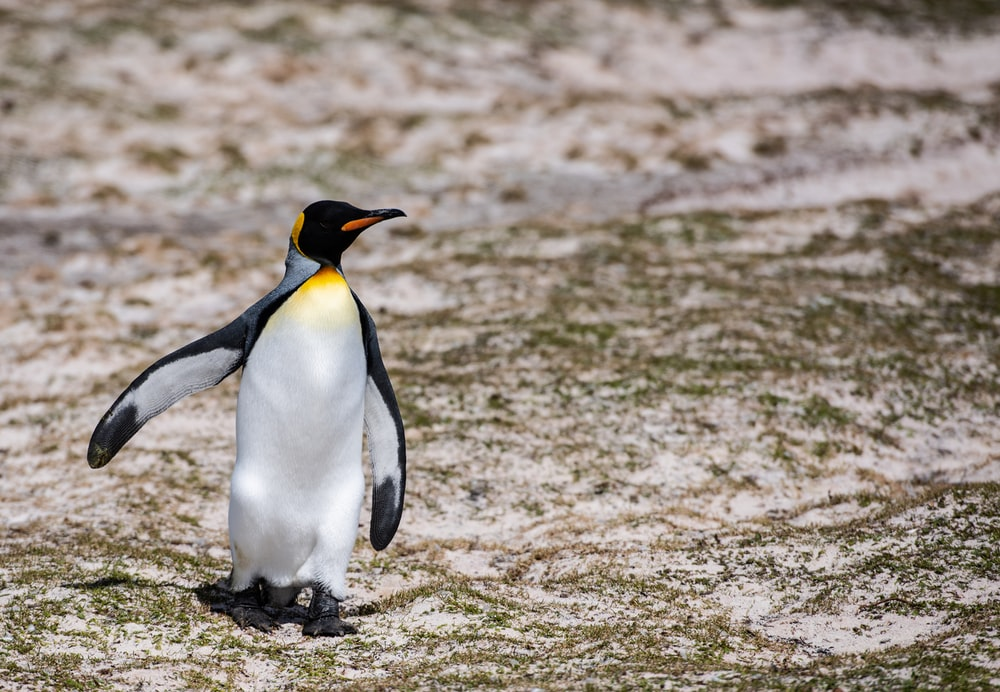 penguin standing on brown sand during daytime