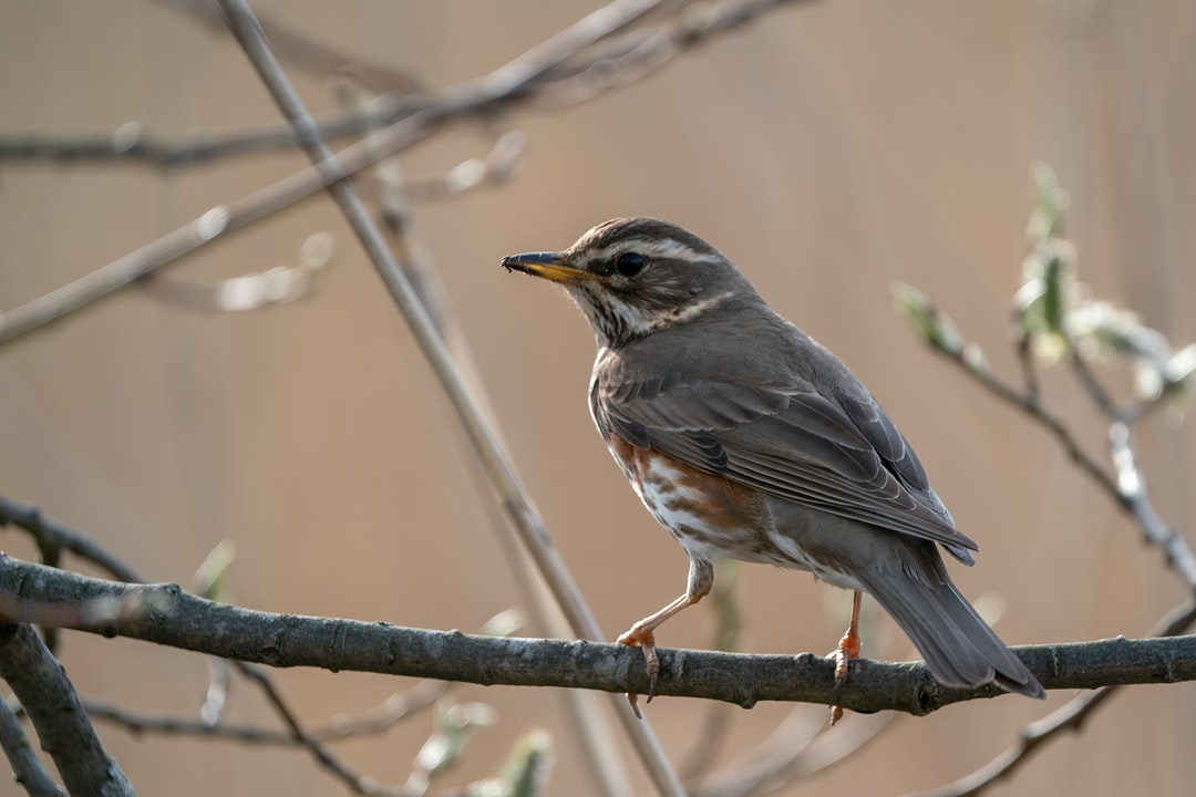 Redwing is sitting on a branch