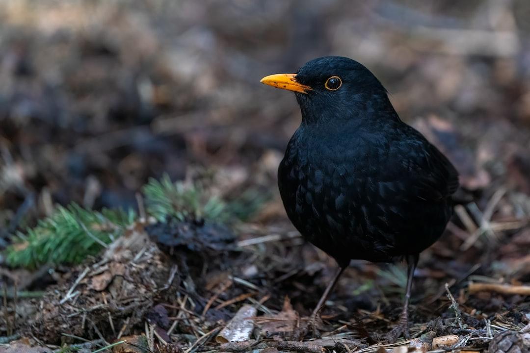 Common Blackbird is on the ground