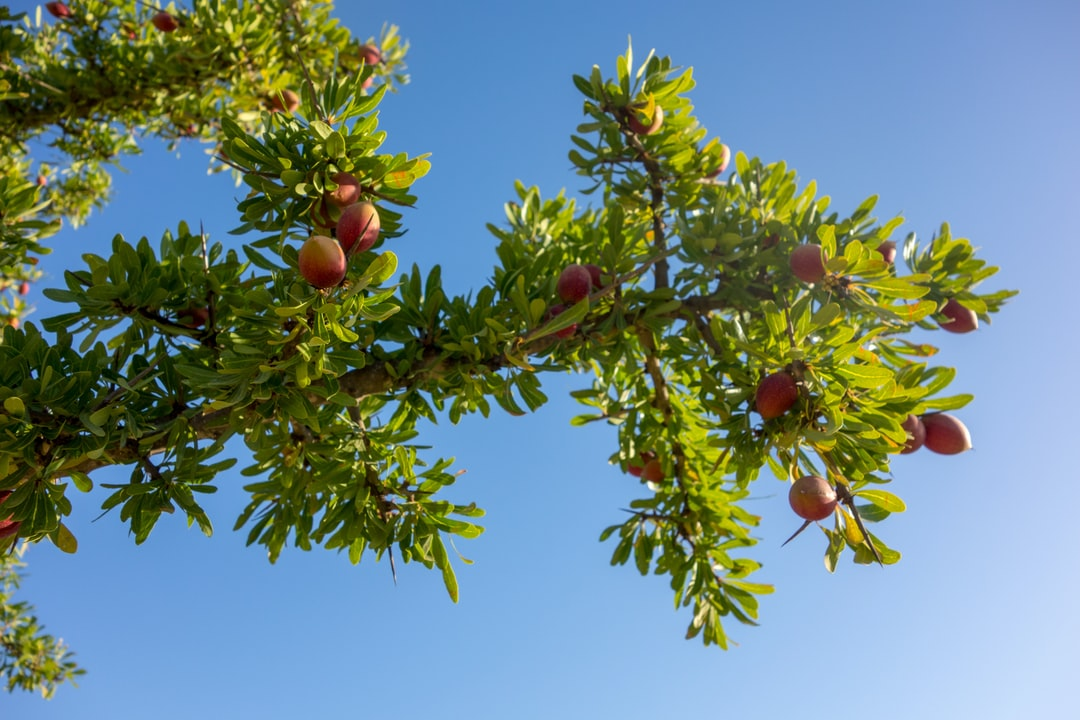 Photography of an Argan Tree or Argan Twig from below, with already reddish discoloured Argan Fruits or Argan Nuts. In the background you see the bright blue sky.