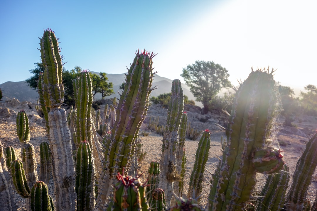 Pictures of Pillar Cactuses, with fresh red thorns at the top of the cacti, in Morocco. The Cacti belong to the Cactaceae Family and are called Cereus. In the Background you can see a typical hilly Landscape of Morocco.