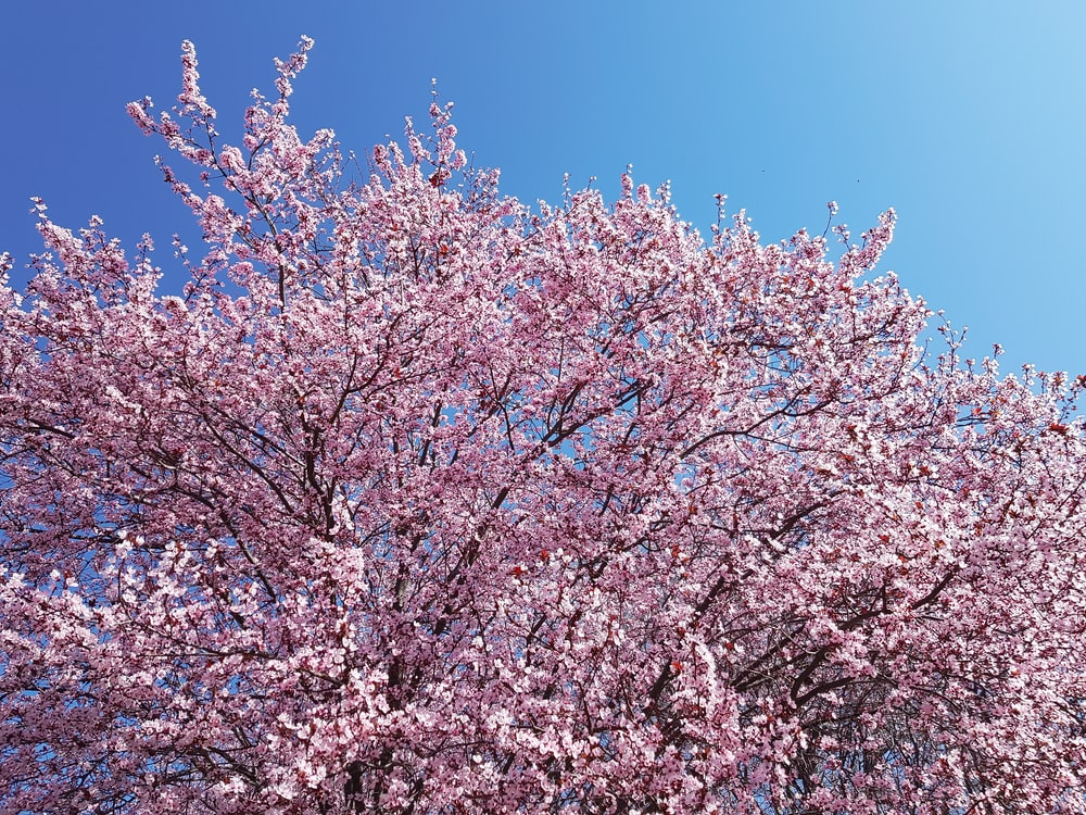 pink cherry blossom tree under blue sky during daytime