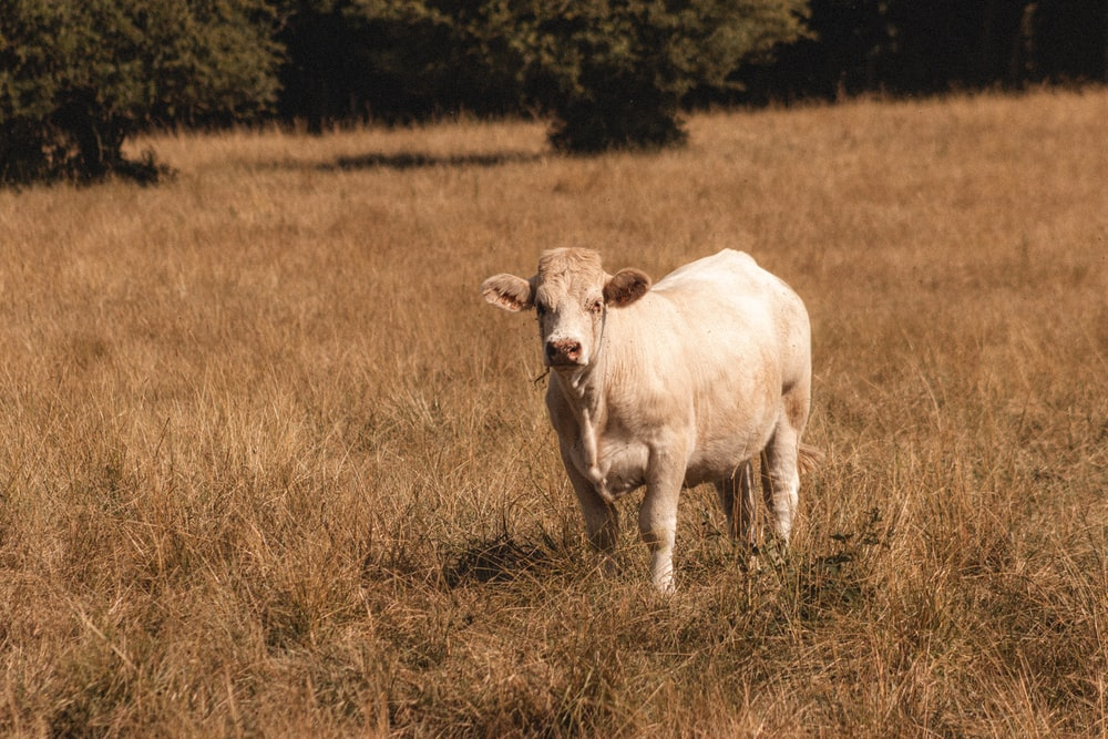 white cow on brown grass field during daytime