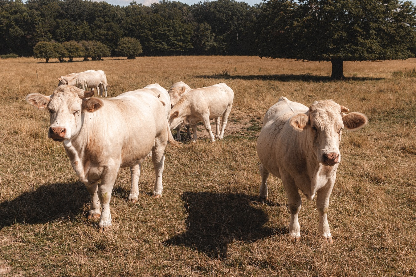 Is The Way Cattle Are Grazed The Key to Saving America's pPrairies?