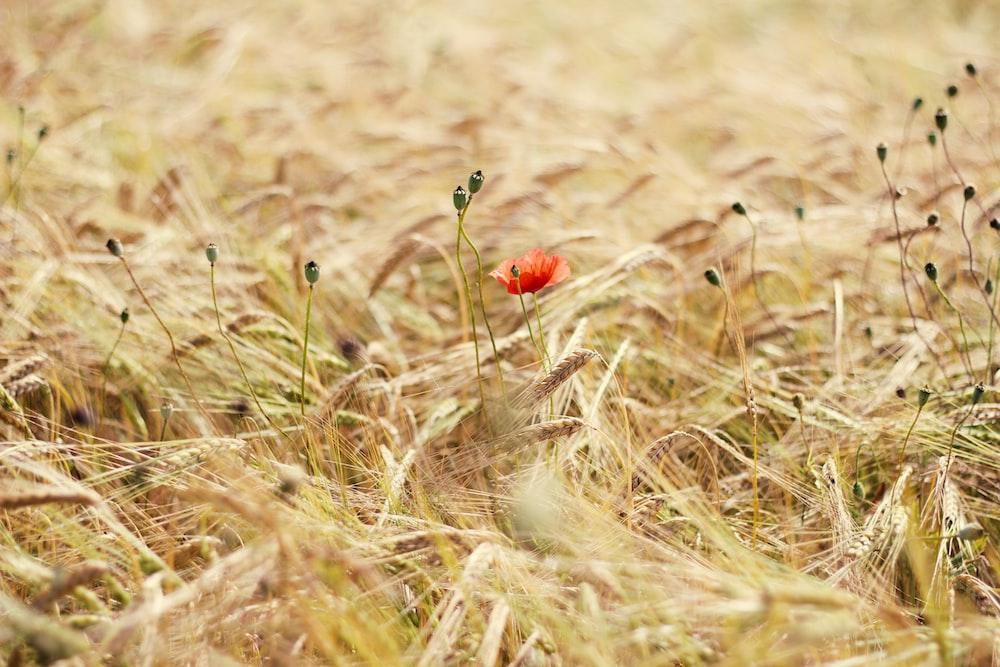 red flower in brown grass field during daytime