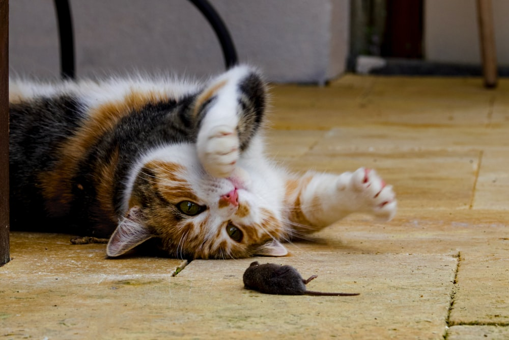 brown white and black cat lying on brown wooden floor