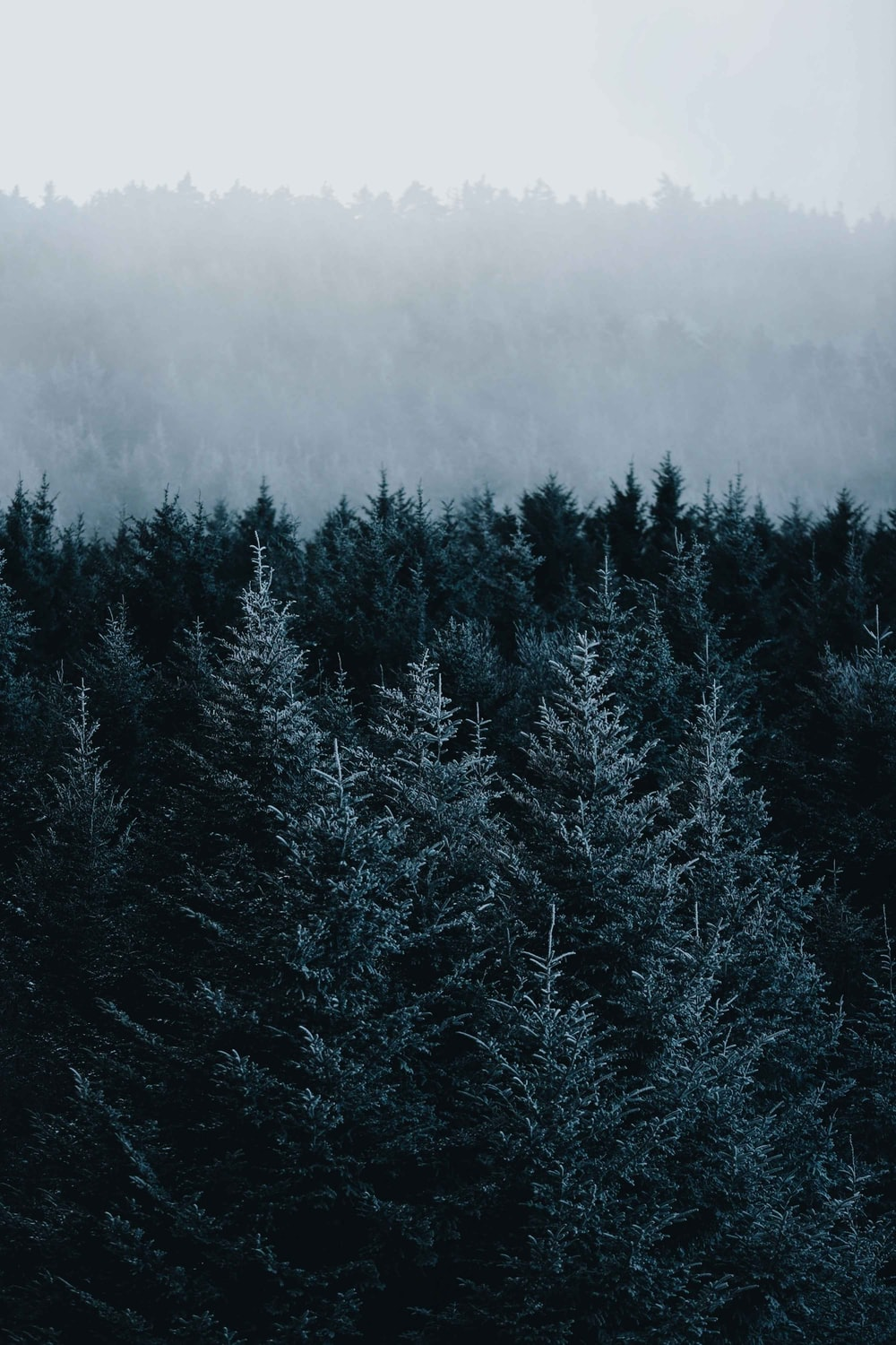 green pine trees covered with snow