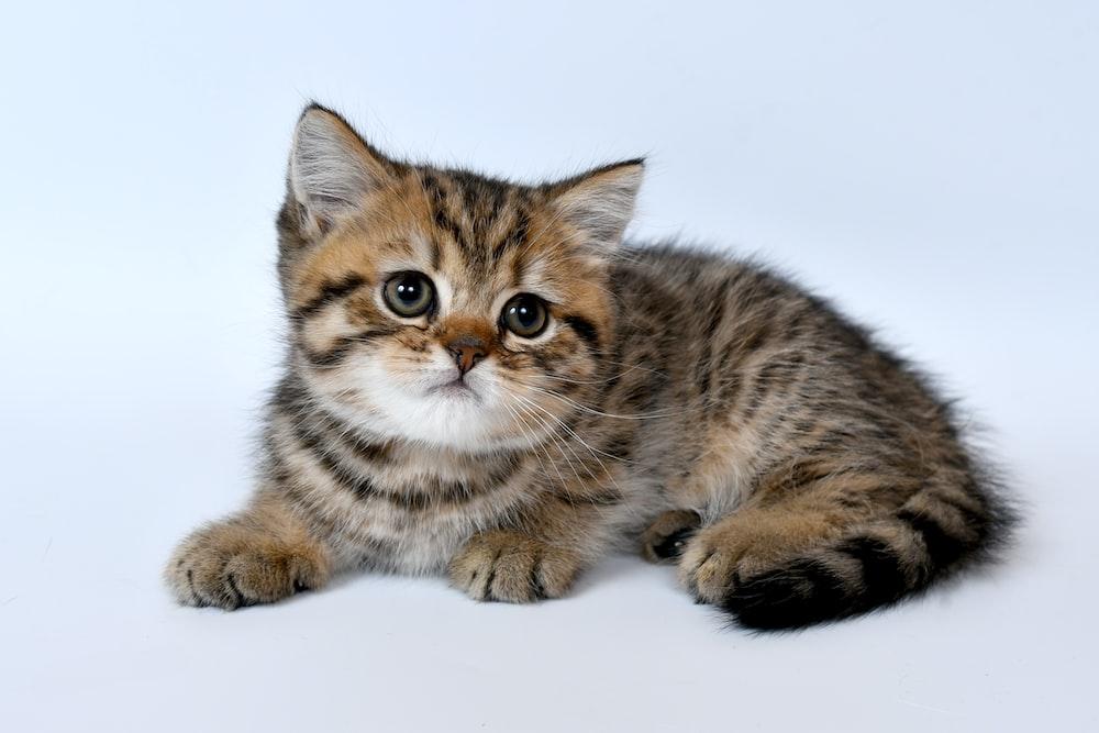 brown tabby kitten on white surface