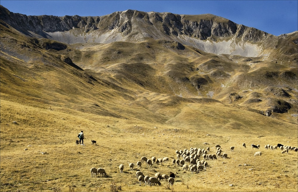 group of sheep on brown grass field during daytime