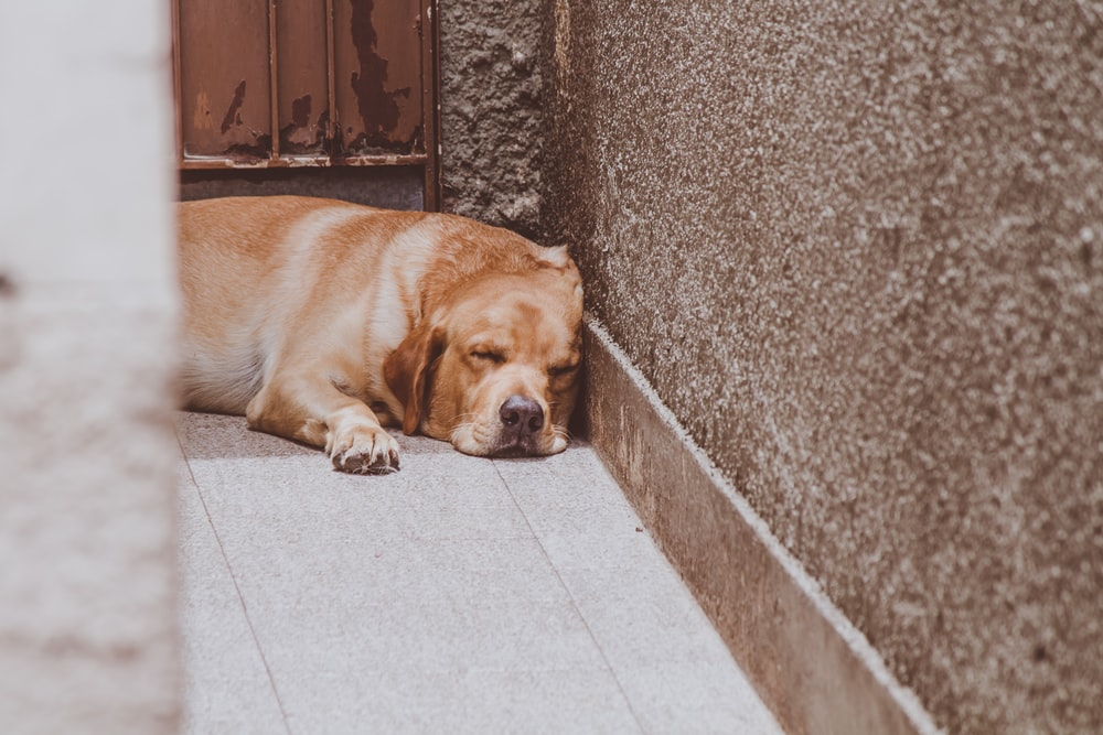 brown short coated dog lying on brown concrete floor