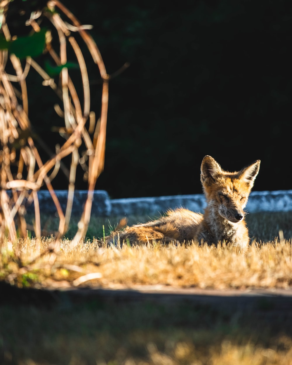 brown and black fox lying on green grass during daytime