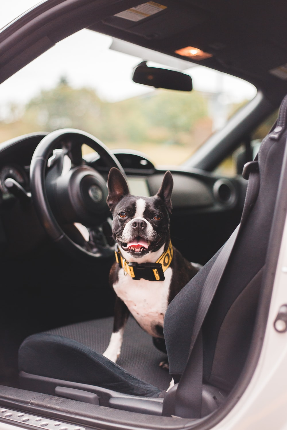 black and white short coated dog in car