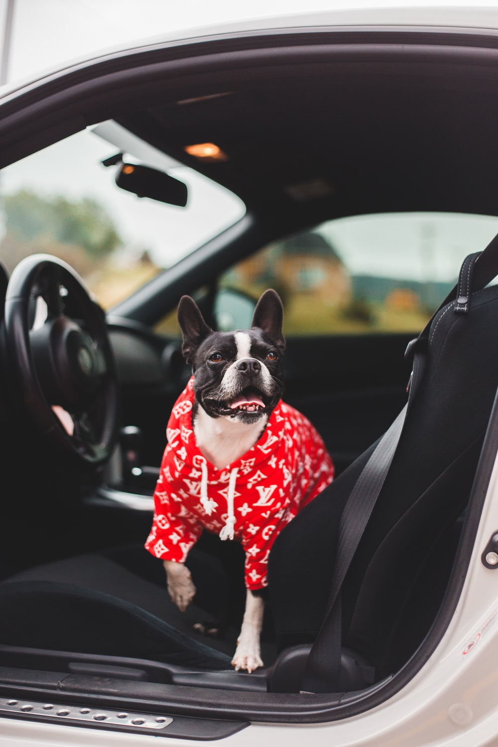 black and white short coated dog in red and black polka dot dress sitting on car
